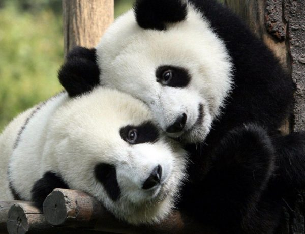 pandacskak