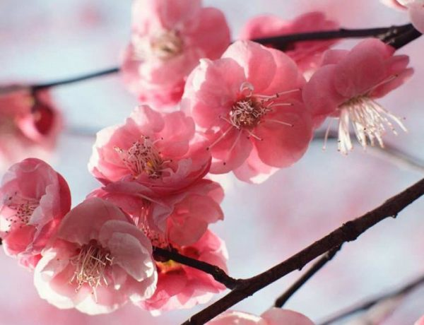 cseresznyefa virágzik